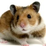 Hamster: o fofinho que troca o dia pela noite