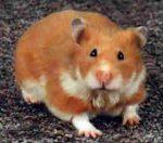 """Hamster: o """"fofinho"""" que troca o dia pela noite"""