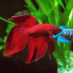 A beleza deslumbrante do peixe Betta