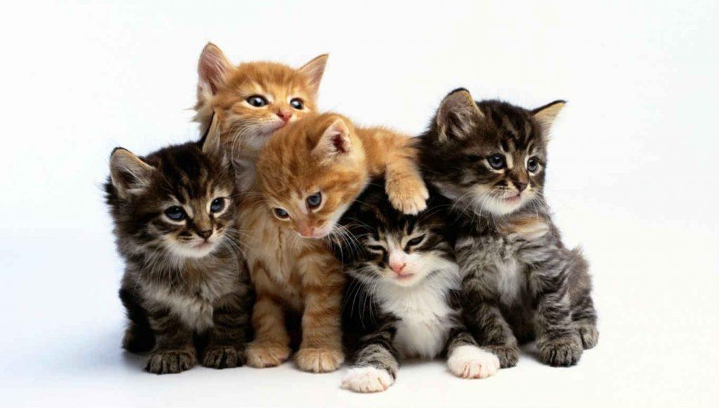 Raças de Gatos Domésticos