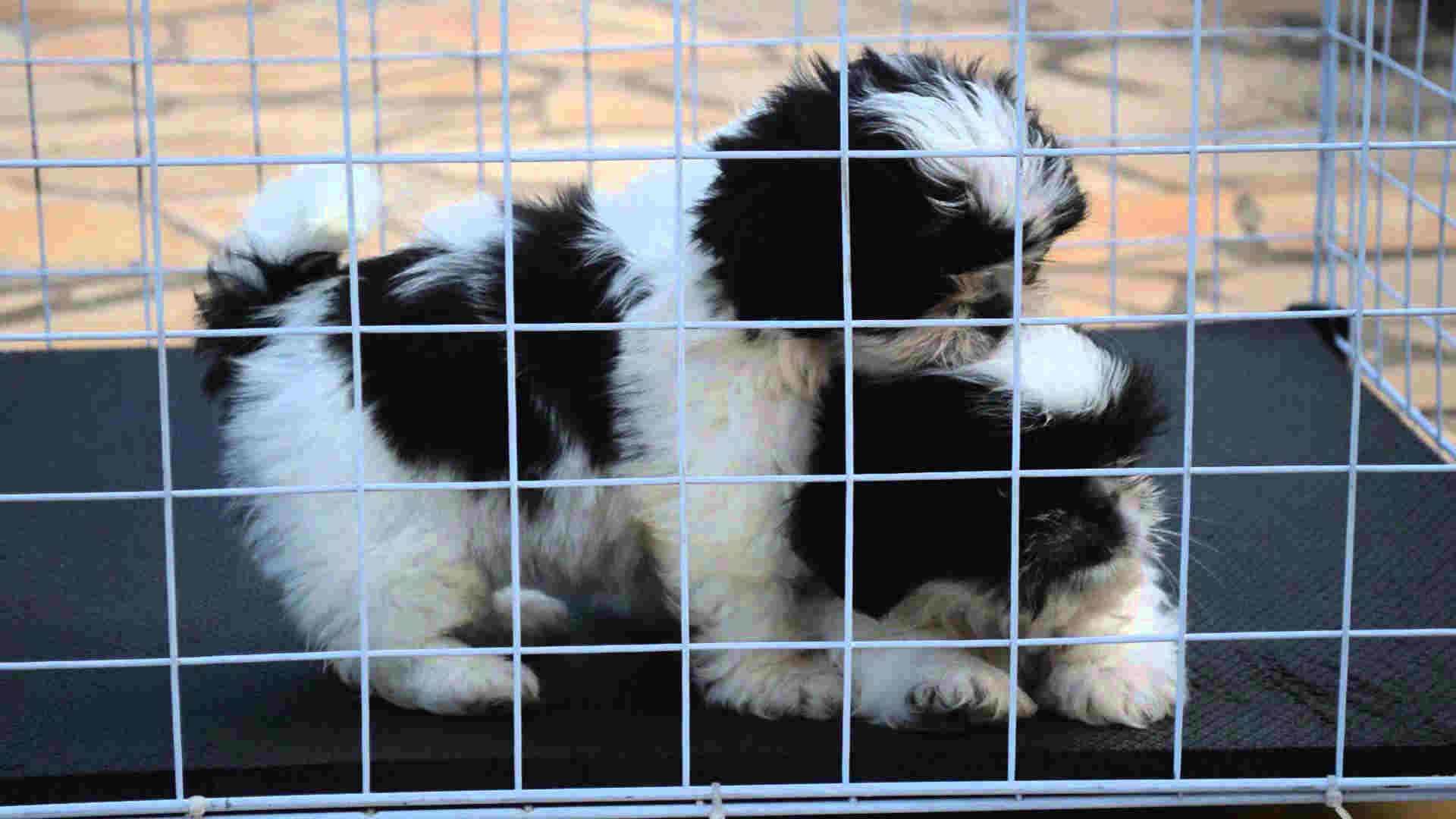 Shih-Tzu-O-cãozinho-chinês-que-encanta-todos-06