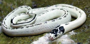Melhores tipos de cobras de estimação