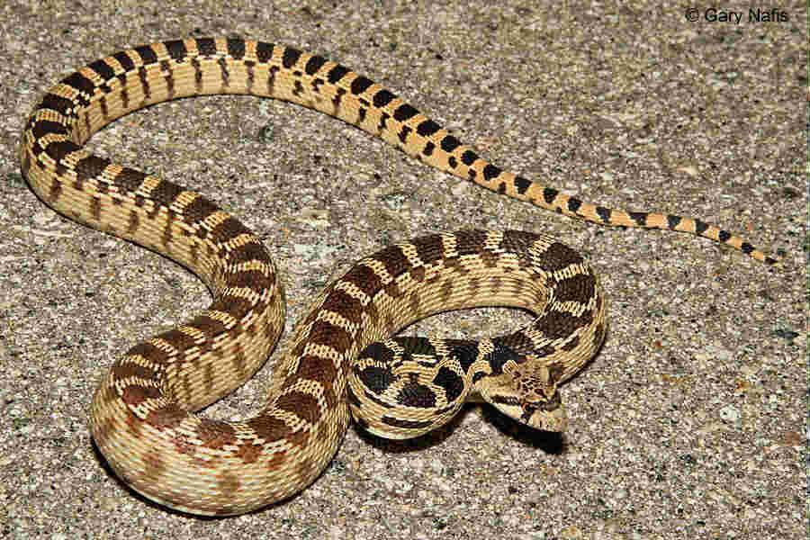 Conhe 231 A Os Melhores Tipos De Cobras Para Se Criar Em Casa