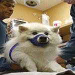 Odontologia nos cães alivia síndrome do pânico