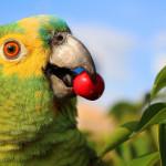 A ave falante que canta e encanta