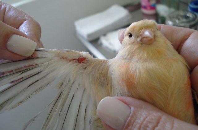 Como tratar cisto nas aves