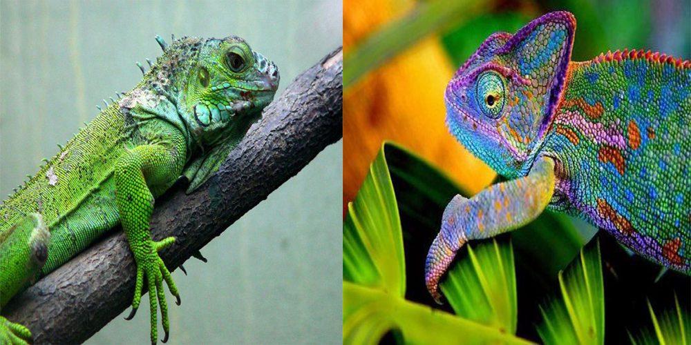 Diferenças e Semelhanças entre Iguana e Camaleão