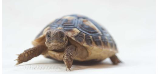 Tartaruga é adorável e tranquila