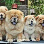 10 fotos de Chow-chow pra você se apaixonar e adotar um